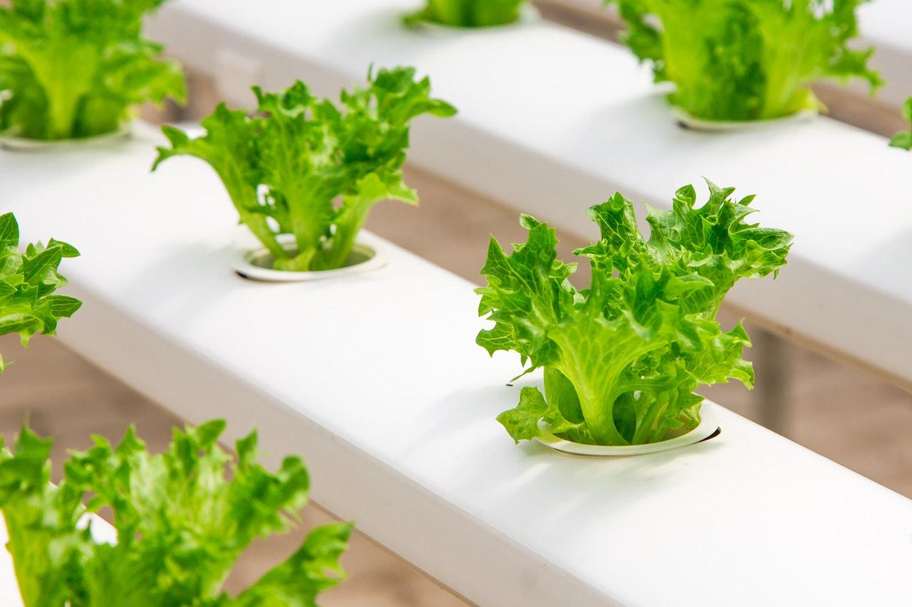 lettuce in mobile greenhouse