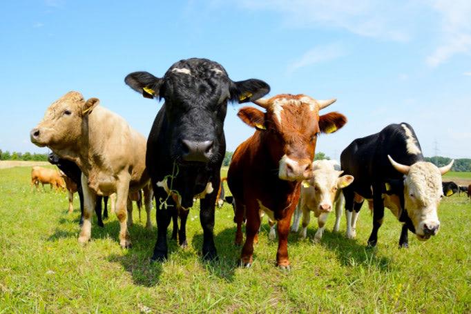 Cows_blog_thumb